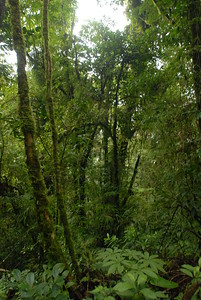 © Joseph Dougherty. All rights reserved.   Thick mosses and epiphytes coat the vines and tree limbs in the cloud forest.