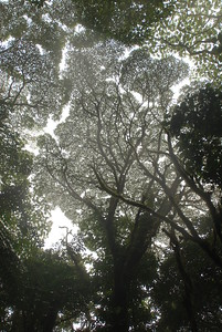 © Joseph Dougherty. All rights reserved.   Cloud forest canopy, seen from below, showing borders between adjacent trees.