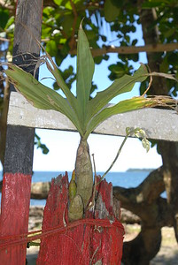 © Joseph Dougherty. All rights reserved.   Catasetum orchid growing on the painted trunk of an old palm tree stump, in the Caribbean coastal town of Cahuita.