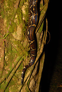 © Joseph Dougherty. All rights reserved.   Tail pattern of a Costa Rican red-tail boa, Boa constrictor ssp. imperator