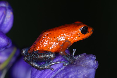 © Joseph Dougherty. All rights reserved.   Oophaga pumilio (formerly Dendrobates pumilio), the Strawberry Poison Dart Frog.