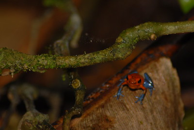 © Joseph Dougherty. All rights reserved.  Oophaga pumilio   (Schmidt, 1857)  Strawberry poison frog  Calling male frog.