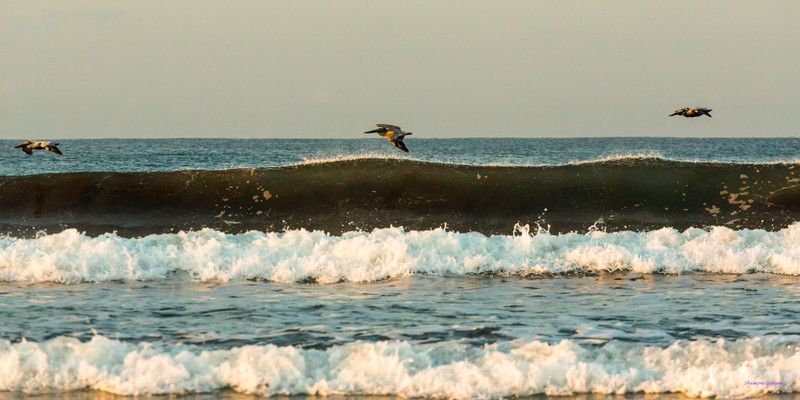 Pelicans skimming the surf