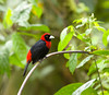the most beautiful crimson collared tanager-<br /> the only one I saw was at the Arenal lodge grounds