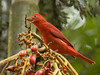 Arenal_ Summer_Tanager_male07 copy