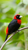 Arenal_crimson_collared_tanager 02