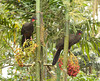 two crested guans on arecanut trees