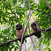 Spectacled owls.