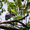 Not sure what kind of bird this is.  We saw it in a tree branch near the river.  Austin thinks it might be a boat-billed heron.