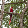 The macaw flew to some nearby higher trees, giving us more photo opportunities.