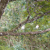 I saw these on a distant tree and snapped a couple pictures to identify later.  I think they're white ibis.