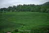 Coffee Plantations - Costa Rica (2)