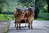 Coffee Cart Cows - Costa Rica (2)