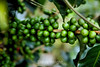 Coffee Beans - Costa Rica (2)