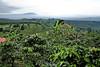 Coffee Plantations - Costa Rica (9)