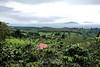 Coffee Plantations - Costa Rica (4)
