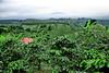 Coffee Plantations - Costa Rica (11)
