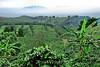 Coffee Plantations - Costa Rica (12)
