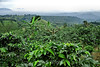 Coffee Plantations - Costa Rica (10)