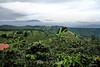 Coffee Plantations - Costa Rica (8)