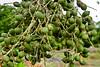 Berries - Costa Rica (1)
