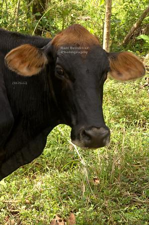 Cows in Costa Rica wear rather progressive hair styles La Fortuna, Arenal, Costa Rica