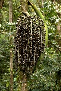 Palm fruits La Fortuna, Arenal, Costa Rica