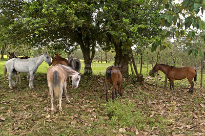 Group of small horses seeking shelter under the trees La Fortuna, Arenal, Costa Rica