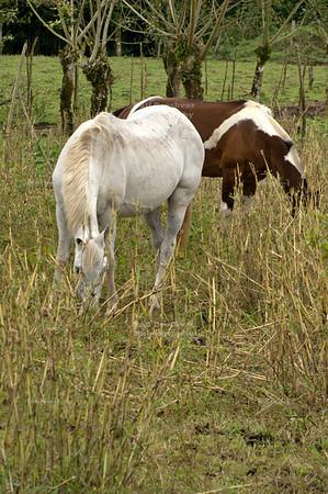 Grazing horses La Fortuna, Arenal, Costa Rica