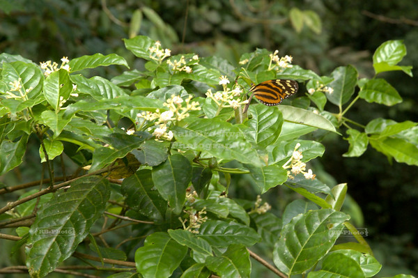 Tiger Longwing (Heliconius hecale) butterfly at work in the canopy La Fortuna, Arenal, Costa Rica