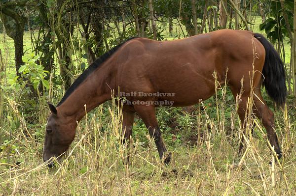 Little brown horse grazing La Fortuna, Arenal, Costa Rica