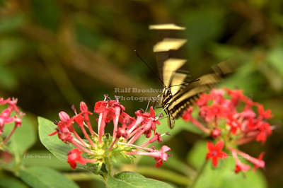 Zebra Longwing (Heliconius charithonia) landing on a red flower Monteverde, Costa Rica
