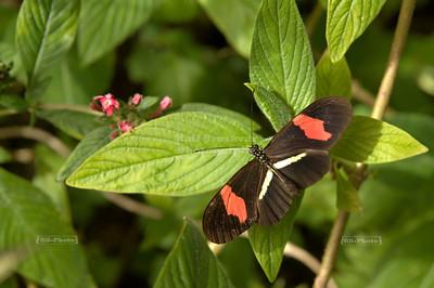 Red Postman (Heliconius erato)  Monteverde, Costa Rica