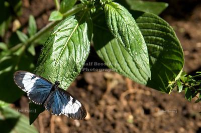 Sara Longwing (Heliconius sara) Monteverde, Costa Rica