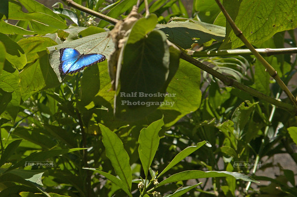 Blue Morpho Butterfly resting with open wings - which they normally don't do Monteverde, Costa Rica