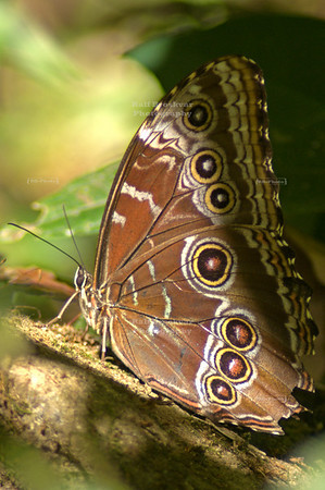 A Blue Morpho Butterfly seems to be enjoying the sunshine. Look at that face! Monteverde, Costa Rica
