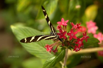 Zebra Longwing (Heliconius charithonia) Monteverde, Costa Rica