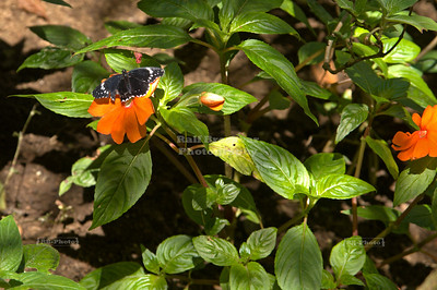 Black Heliconius Butterfly on orange flower Monteverde, Costa Rica
