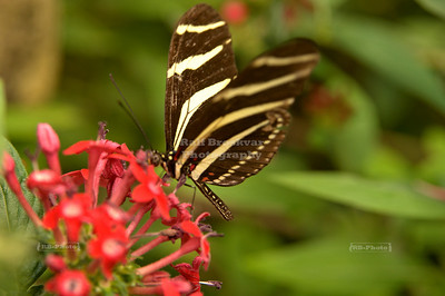 Zebra Longwing (Heliconius charithonia) on a red flower Monteverde, Costa Rica