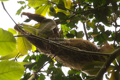 Three-toed sloth very high up in an avocado tree Gandoca-Manzanillo Wildlife Refuge, Costa Rica