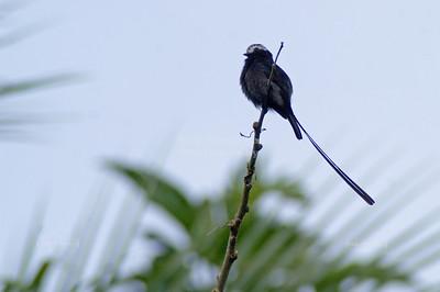 Scissor-tailed Flycatcher (Tyrannus forficatus), Gandoca-Manzanillo Wildlife Refuge, Costa Rica