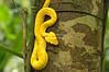 Yellow Eyelash Viper (Bothriechis schlegelii); a venomous pitviper species<br /> Gandoca-Manzanillo Wildlife Refuge, Costa Rica
