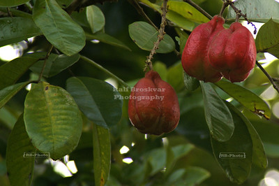 Cocoa (or cacao) fruits, Gandoca-Manzanillo Wildlife Refuge, Costa Rica