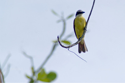 Social Flycatcher, Gandoca-Manzanillo Wildlife Refuge, Costa Rica