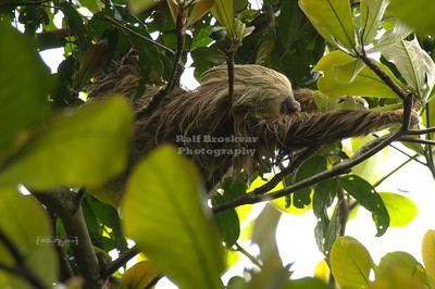 Three-toed sloth very high up in an avocado tree in Gandoca-Manzanillo Wildlife Refuge, Costa Rica
