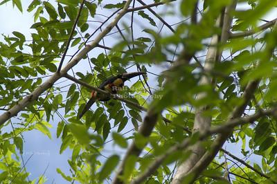 Collared Aracari (Pteroglossus torquatus) Toucan Gandoca-Manzanillo Wildlife Refuge, Costa Rica