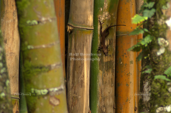 Dark Brown Gecko perched upside down on a bamboo fence