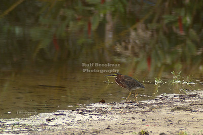 Green heron (butorides virescens) waiting for his lunch to swim by... Gandoca-Manzanillo Wildlife Refuge, Costa Rica