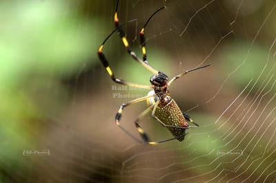 Spider doing what spiders do best: web design Gandoca-Manzanillo Wildlife Refuge, Costa Rica