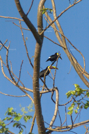 2 Chestnut-mandibled toucans, Tortuguero Village, Costa Rica [ image not recommended for large prints ]
